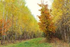Madera de abedul con las hojas amarilleadas Foto de archivo libre de regalías