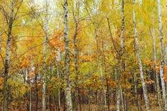 Madera de abedul con las hojas amarilleadas Fotos de archivo