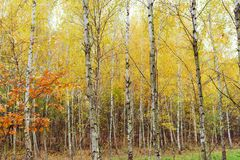 Madera de abedul con las hojas amarilleadas Fotografía de archivo libre de regalías