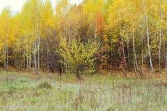 Madera de abedul con las hojas amarilleadas Fotografía de archivo