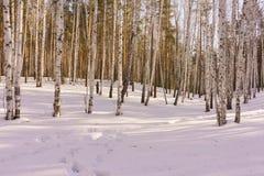 Madera de abedul del invierno Foto de archivo libre de regalías