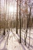 Madera de abedul del invierno Imagen de archivo