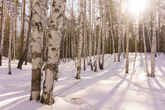 Madera de abedul del invierno Imagenes de archivo
