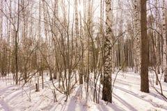 Madera de abedul del invierno Fotos de archivo