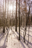 Madera de abedul del invierno Imagen de archivo libre de regalías