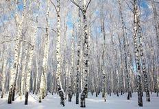 Madera de abedul del invierno de la luz del sol Fotografía de archivo