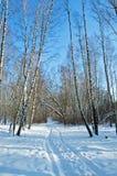 Madera de abedul en día de invierno solar Fotos de archivo