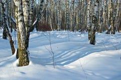 Madera de abedul en día de invierno solar Fotografía de archivo libre de regalías