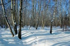 Madera de abedul en día de invierno solar Foto de archivo libre de regalías