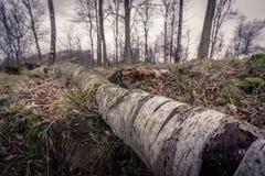 Madera de abedul en el bosque Imagen de archivo libre de regalías