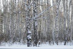 Madera de abedul en el invierno Imagenes de archivo