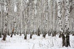 Madera de abedul en el invierno Rusia Foto de archivo libre de regalías