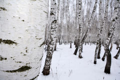 Madera de abedul en el invierno Rusia Fotografía de archivo