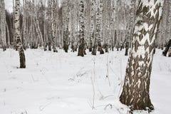 Madera de abedul en el invierno Rusia Imagen de archivo