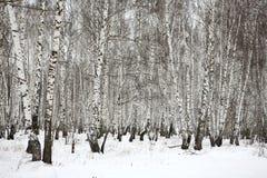 Madera de abedul en el invierno Rusia Foto de archivo