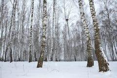 Madera de abedul en el invierno Rusia Fotos de archivo