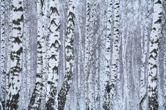 Madera de abedul en el invierno Rusia Imágenes de archivo libres de regalías