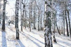 Madera de abedul en invierno Imagen de archivo libre de regalías
