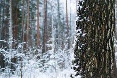 Madera de abedul en invierno el fondo ambiental Fotos de archivo libres de regalías