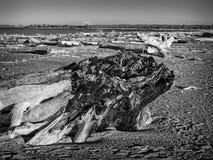 Madera de deriva blanco y negro fotografía de archivo