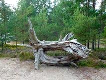 Madera de deriva en la playa por el bosque del pino Imagenes de archivo