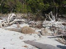 Madera de deriva en una playa de la Florida Foto de archivo libre de regalías