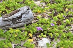 Madera de deriva y flores púrpuras Fotos de archivo