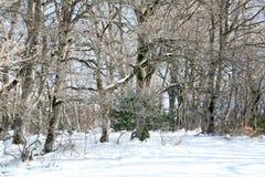 Madera de haya con nieve Fotos de archivo