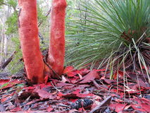 Madera de la cubierta de la corteza de árbol de eucalipto imagen de archivo libre de regalías