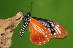 Mariposa en la madera, agestor del chilasa Fotos de archivo libres de regalías