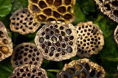 Madera de Lotus Imagen de archivo