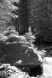 Madera de picea-árboles Fotos de archivo
