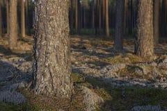 Madera de pino Imágenes de archivo libres de regalías