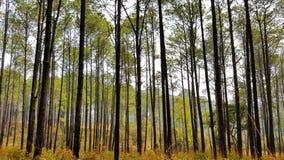 Madera de pino Imagen de archivo libre de regalías