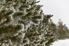 Madera de pino en el invierno Fotos de archivo libres de regalías