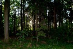 Madera de pino espeluznante oscura de Halloween Fotografía de archivo libre de regalías
