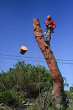 Madera del corte del condensador de ajuste del árbol del árbol de pino imágenes de archivo libres de regalías