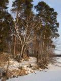 Madera del invierno en las vigas del sol. El ocaso. Foto de archivo libre de regalías