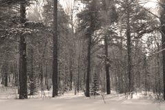 Madera del invierno en una nieve Foto de archivo