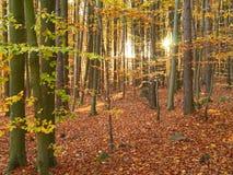 Madera del otoño con las hojas de la haya Imagen de archivo