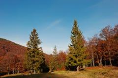 Madera del otoño del fondo de dos alta árboles de pino en mountai cárpato Imagenes de archivo