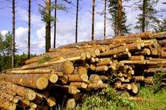 Madera del pino en bosque Imagen de archivo libre de regalías