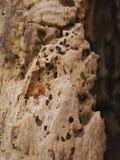 Madera del sauce con los agujeros de gusano Imagen de archivo
