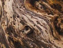 Madera del sauce con los agujeros de gusano Fotografía de archivo libre de regalías