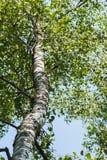Madera del tronco del abedul blanco con las ramas verdes con las hojas en fondo del cielo Concepto de la estación, ecología, simp Foto de archivo libre de regalías