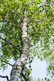 Madera del tronco del abedul blanco con las ramas y las hojas Imagen de archivo libre de regalías