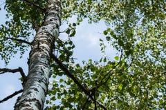 Madera del tronco del abedul blanco en fondo del cielo Fotos de archivo