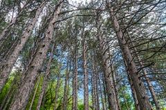 Madera del verde de la naturaleza del pino Imagen de archivo