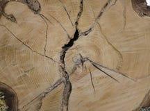 Madera dura del árbol de la textura del detalle con los anillos de árbol Imagen de archivo