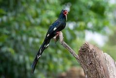 Madera-hoopoe rojo-mandado la cuenta verde Foto de archivo libre de regalías